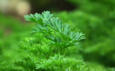 The Purifying Power of Parsley