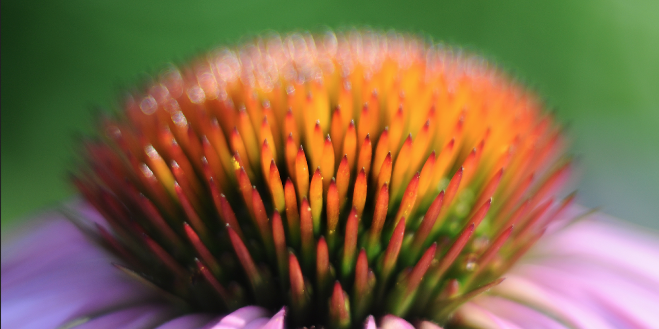 Everybody's Pal, Echinacea