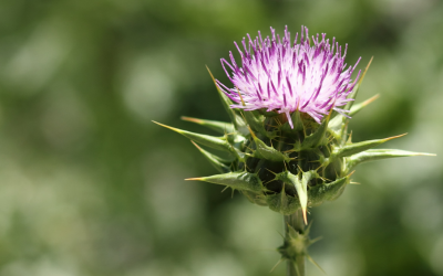 Masterful Milk Thistle